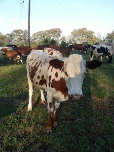 cattle - VEOA2635